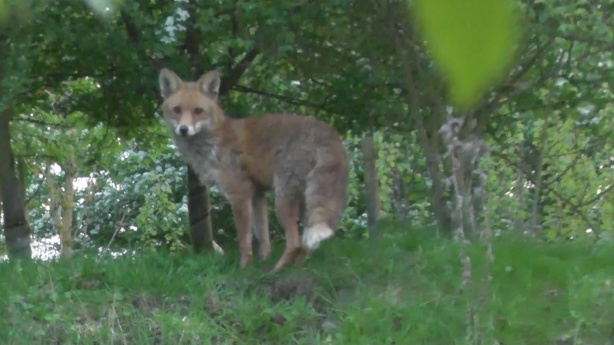 One of my local foxes