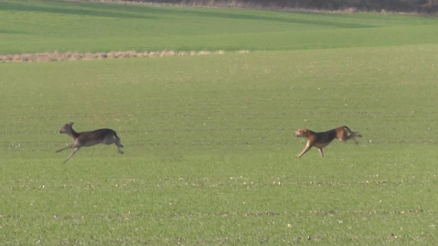 Hounds rioting on a Roe Deer
