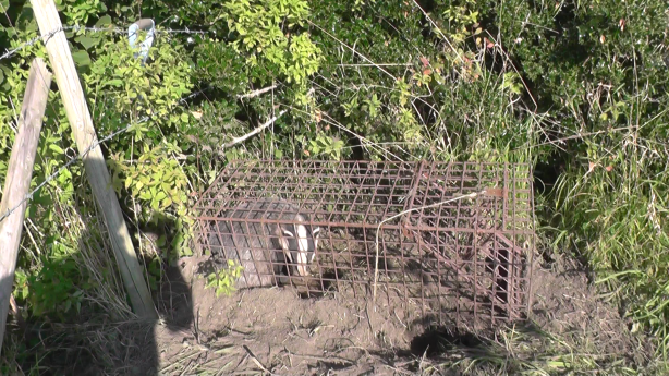 This one had a lucky escape. Note the trappers spade leaning against the fence.